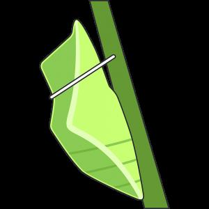 モンシロチョウのサナギ(蝶)