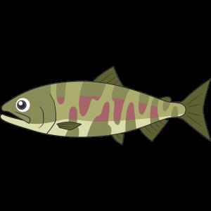 川にいるサケ(魚)