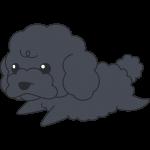 走るトイプードル(黒)の無料イラスト